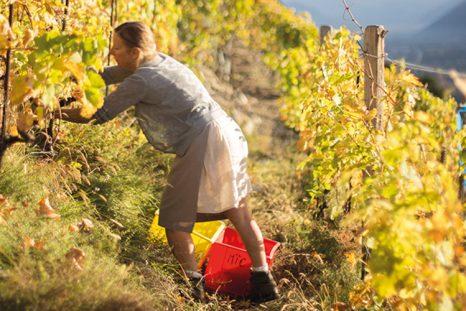 Depuis quinze ans, les vignes de Marie-Thérèse Chappaz sont cultivées en biodynamie. Ce qui fait de la vigneronne de Fully une pionnière en la matière.